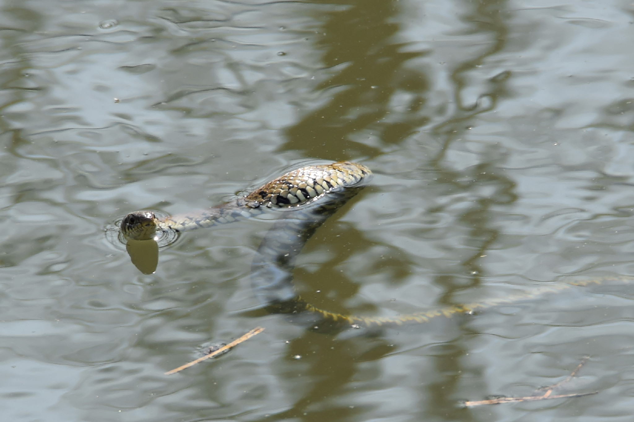 Swimming Grass Snake -1
