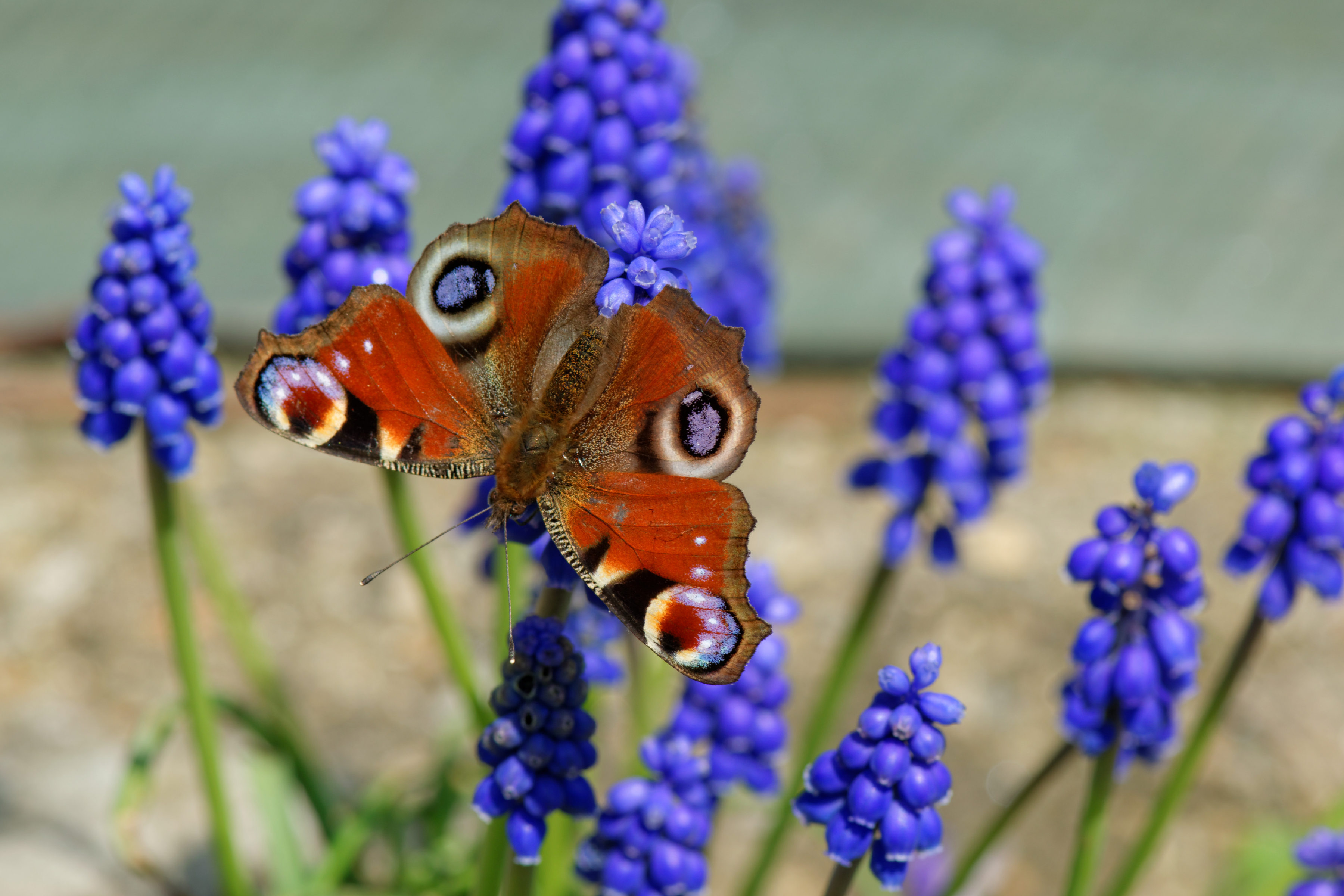 Peacock Butterfly on Grape Hyacinth