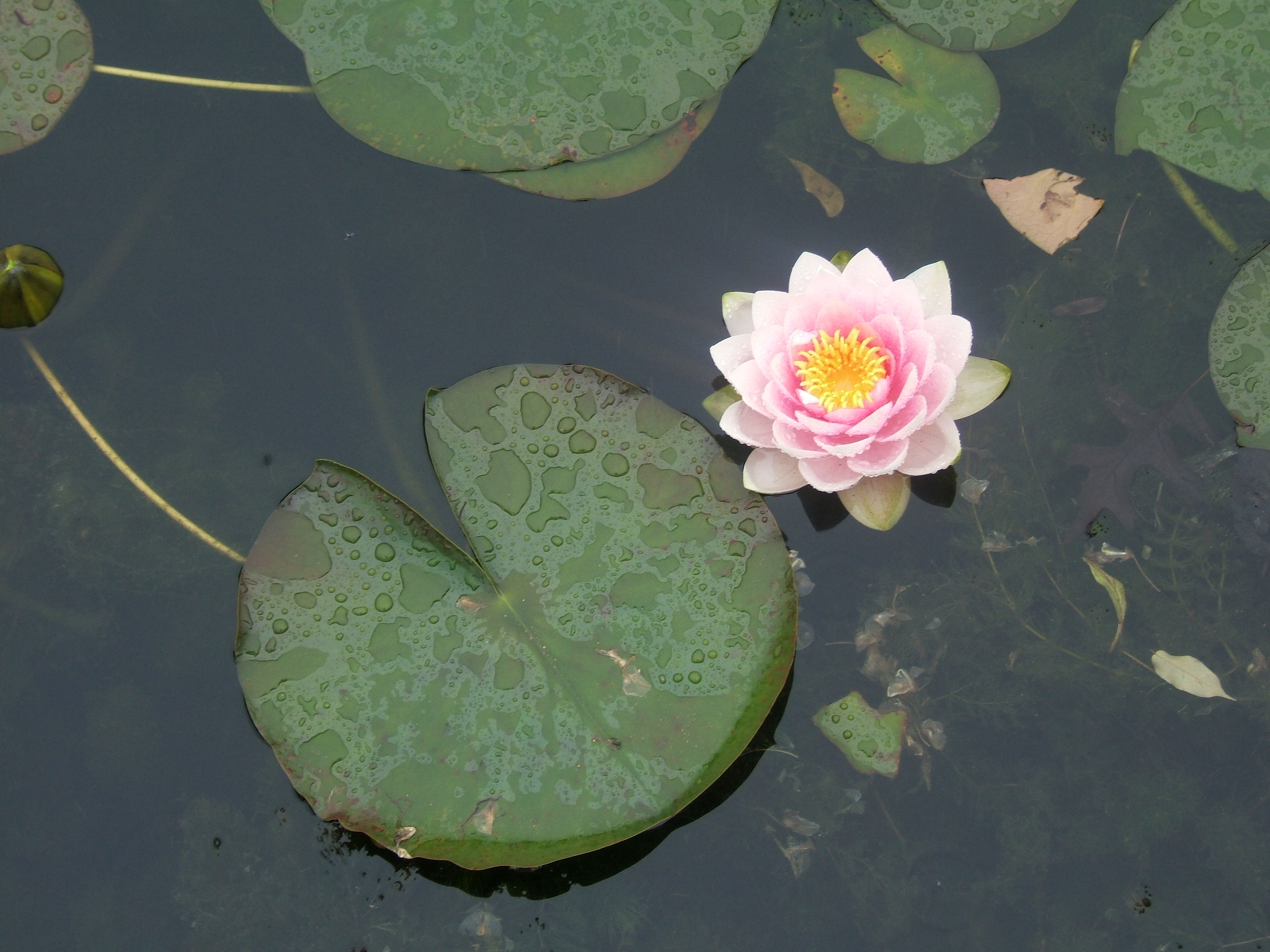Hyland Water Lilies