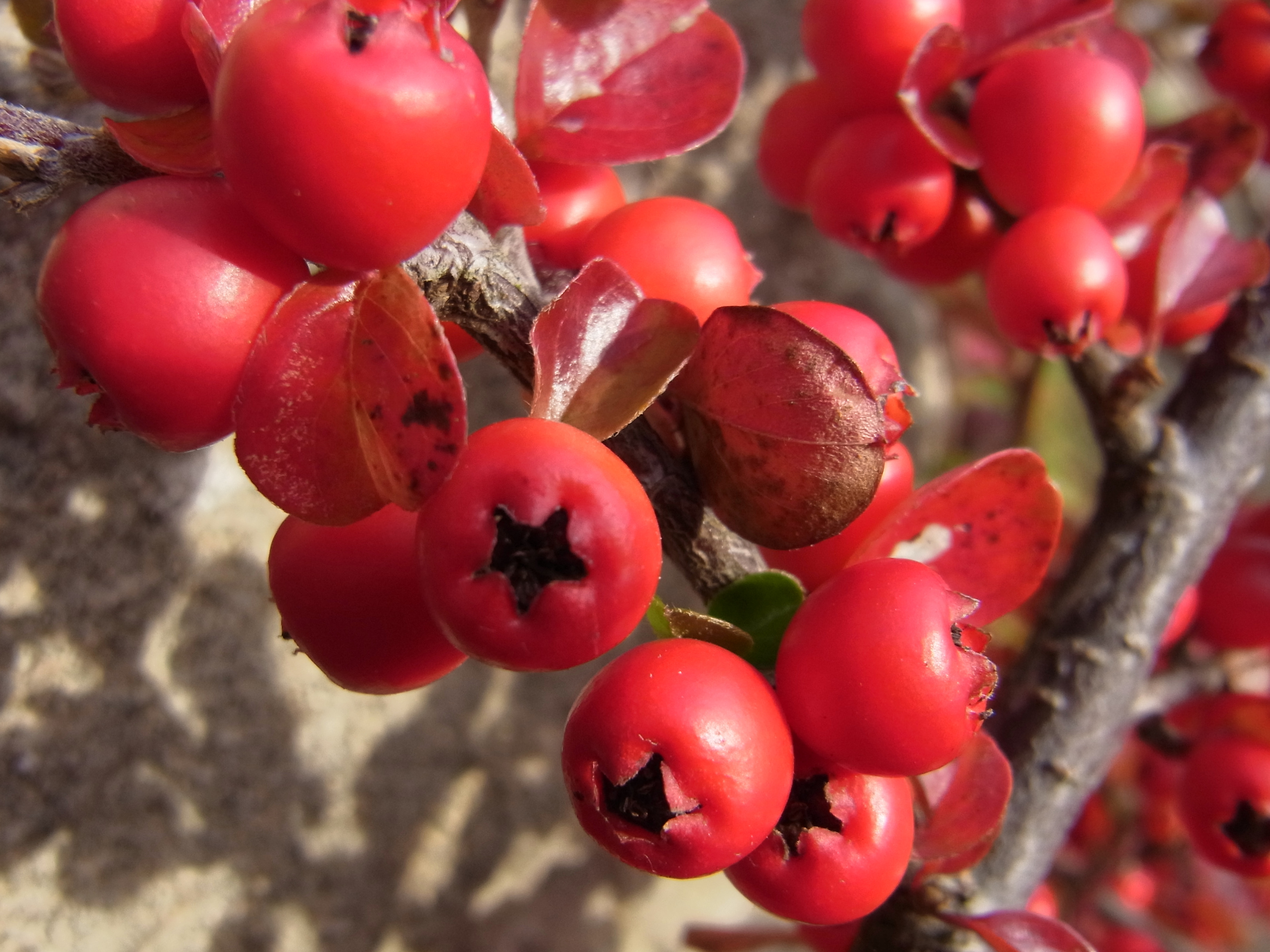 Cotoneaster at St Nicholas' Church